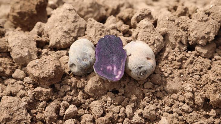 Sivas'ta mor patates ekimi yapıldı