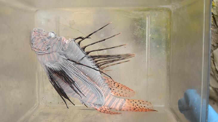 Kuşadası'nda zehirli Aslan balığı görüldü