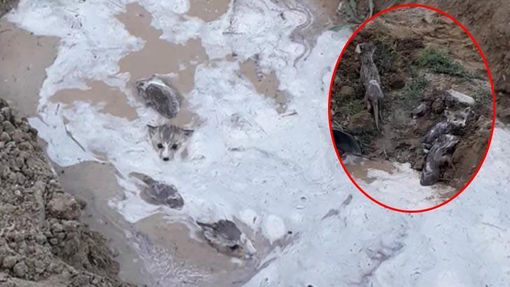 Sulama kanalından çıkan kurt yavruları şaşkınlık yaşattı!