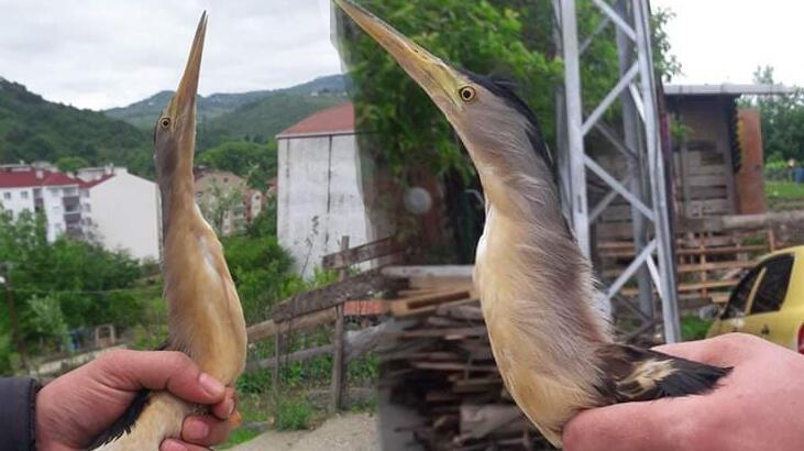 Nesli tükenmekte olan balaban kuşu bu kez Sinop'ta ortaya çıktı