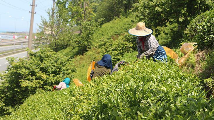 ÇAYKUR benzinle çalışan çay hasat makinelerinin kullanımını yasakladı