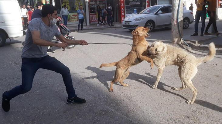 Şanlıurfa'da köpekler birbirine zarar vermesin diye kendini tehlikeye attı