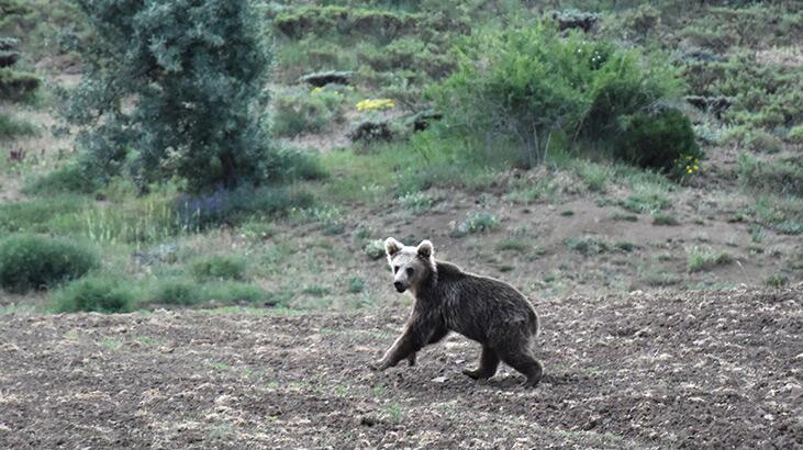Sivas'ta ayı yavrusu görüntülendi