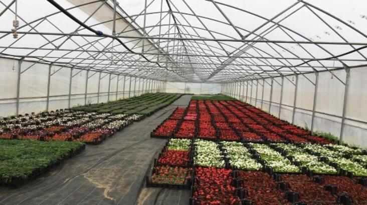 Ordu'da süs bitkileri yetiştiriciliği yeni gelir kapısı oldu