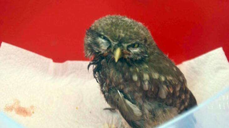 Aydın'da yaralı bulunan yavru baykuş tedaviye alındı