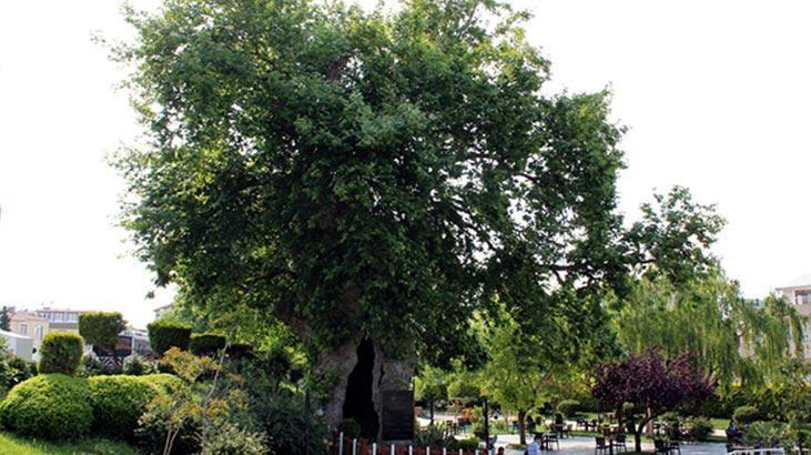 Çınar Ağacı Özellikleri Nelerdir, Nasıl Yetiştirilir?