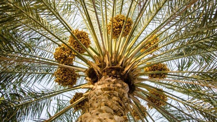 Hurma Ağacı Özellikleri Nelerdir, Nasıl Yetiştirilir?