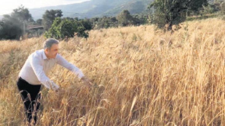 Beydağ'da  ilk hasat