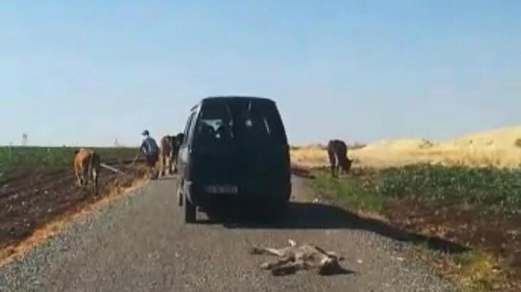 Diyarbakır'da ölü sıpayı aracının arkasına bağlayıp sürükledi