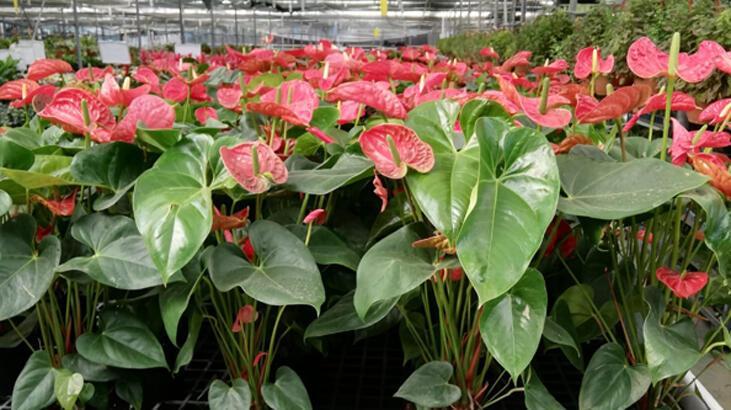 Ev çiçeği meraklılarına: Ali Botanik