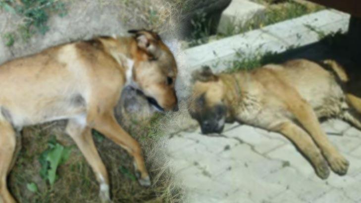 Denizli'de korkunç olay! 6 köpek zehirlenerek öldü
