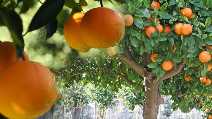 Portakal Ağacı Özellikleri Nelerdir, Nasıl Yetiştirilir?