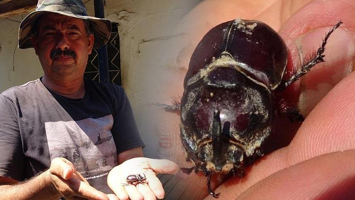 Aydın'da bir çiftçi gergedan böceği buldu!