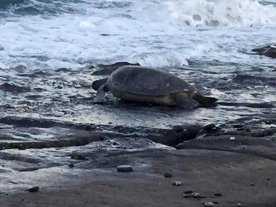 Deniz kaplumbağaları yumurta bırakmaya devam ediyor