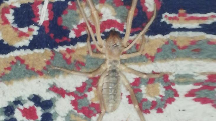 Adana'da sarı kız örümceği akrebin düşmanı