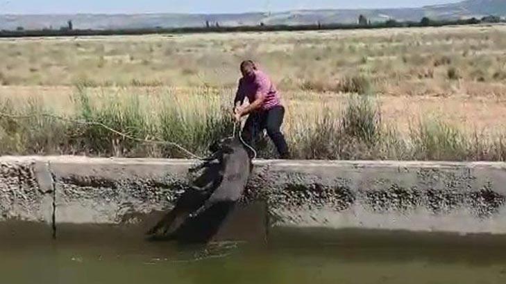 Kanala düşen yaban domuzu kurtarıldı!
