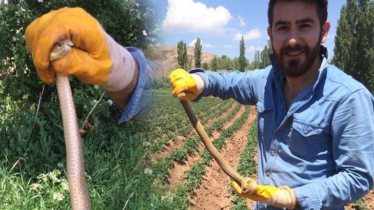 Sivas'ta 1.5 metrelik yılan patates tarlasında paniğe neden oldu!