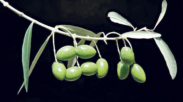 Zeytin ihracatı hızlı yükseldi