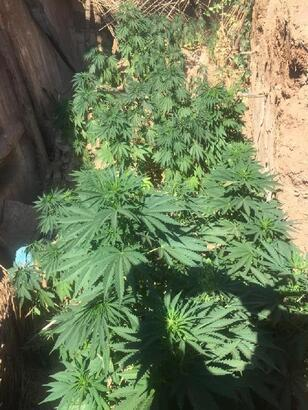 Metruk evde 215 kök kenevir bitkisi 3 kilogram esrar ele geçirdi