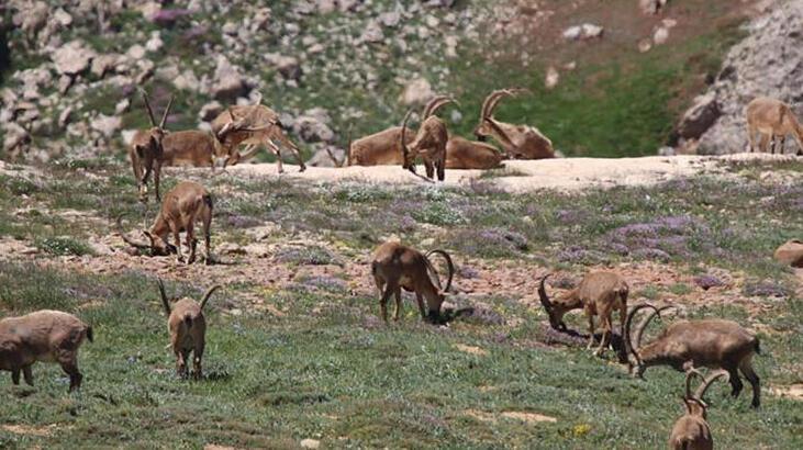 Yaban keçilerinin avlanması için planlanan ihale iptal edildi