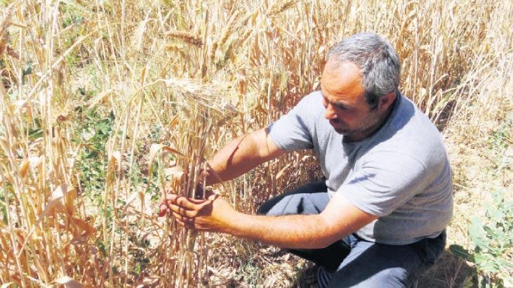 Siyez buğdayına coğrafi işaret
