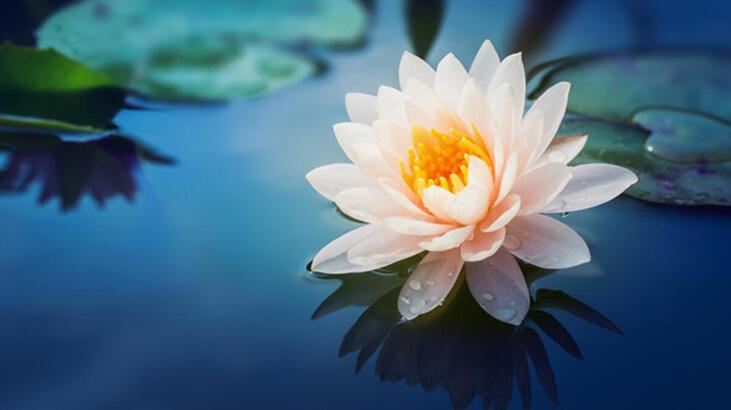Lotus Çiçeği: Anlamı, Özellikleri Ve Faydaları Nelerdir? Bakımı Nasıl Yapılır?