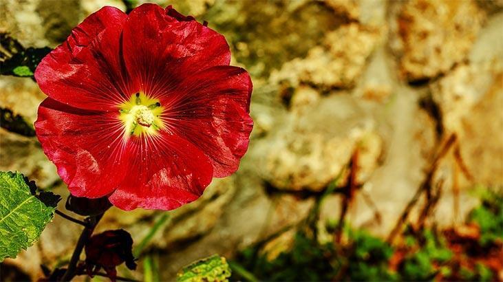Şakayık Çiçeği: Anlamı, Özellikleri Ve Faydaları Nelerdir? Bakımı Nasıl Yapılır?