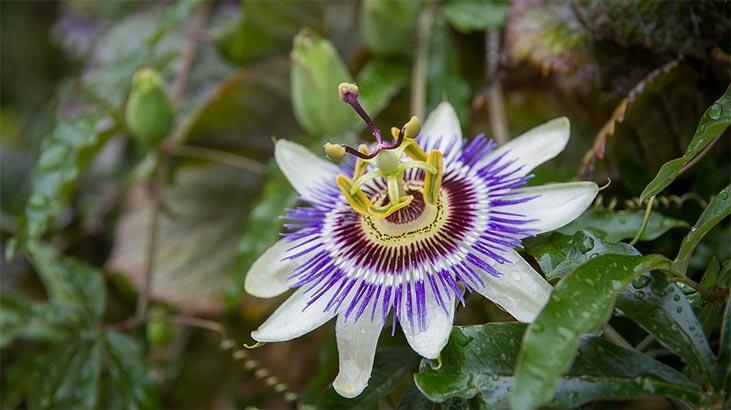 Çarkıfelek Çiçeği: Anlamı, Özellikleri Ve Faydaları Nelerdir? Bakımı Nasıl Yapılır?