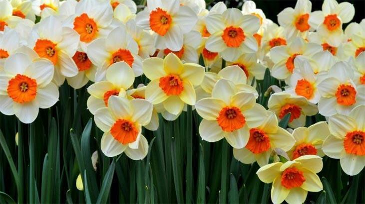 Fulya Çiçeği: Anlamı, Özellikleri Ve Faydaları Nelerdir? Bakımı Nasıl Yapılır?