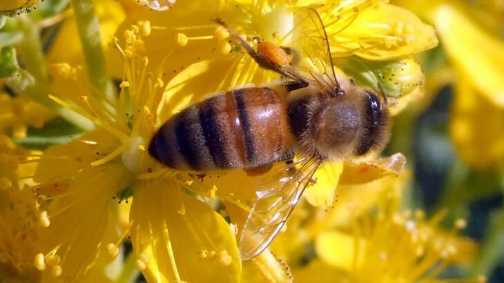 Arı Türleri Ve İsimleri Nelerdir? Türkiye'deki Arı Çeşitleri Ve Özellikleri