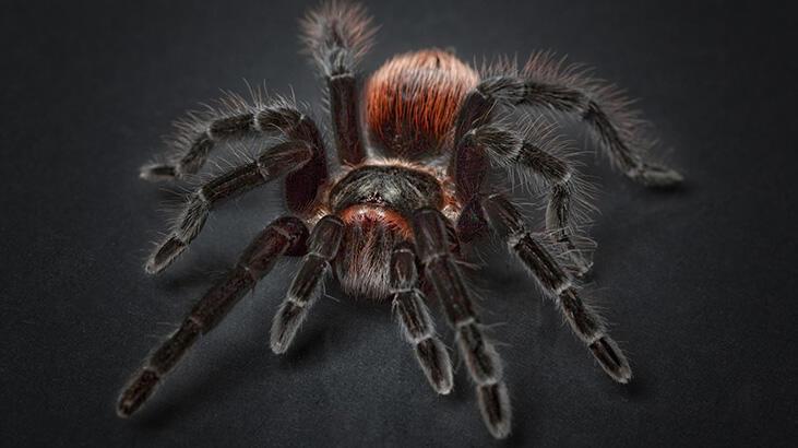 Tarantula denilince aklına neler geliyor? Kısa bilgiler