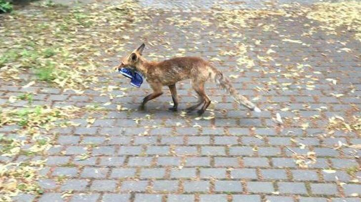 Berlin'de kaybolan ayakkabıların sırrı çözüldü: Hırsız tilki!