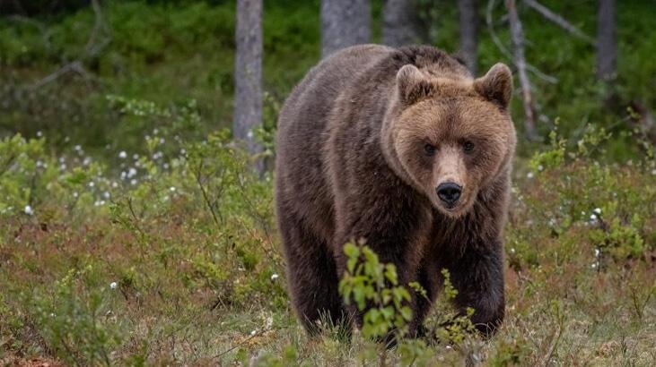 'Kaçış ustası' ayıya destek yağıyor: 'Bırakın, özgür olsun'