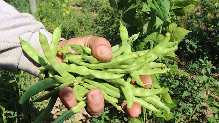 """Tescilli ürün """"boncuk fasulye""""de hasat başladı"""