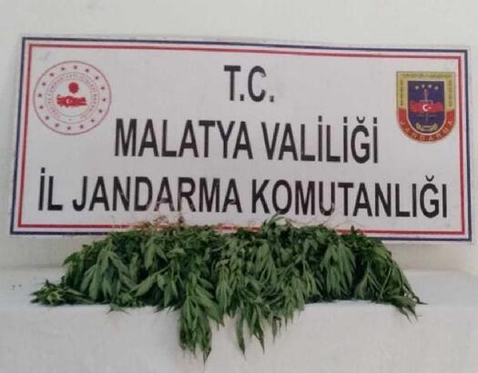 Malatya'da 63 kök kenevir ele geçirildi