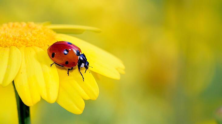 Uğur böceğini yakından tanıyalım?