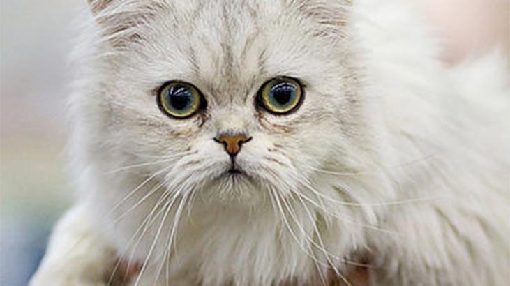 Tiffanie Kedisi Özellikleri Nelerdir? Yavru Chantilly Kedisinin Bakımı Nasıl Yapılır?