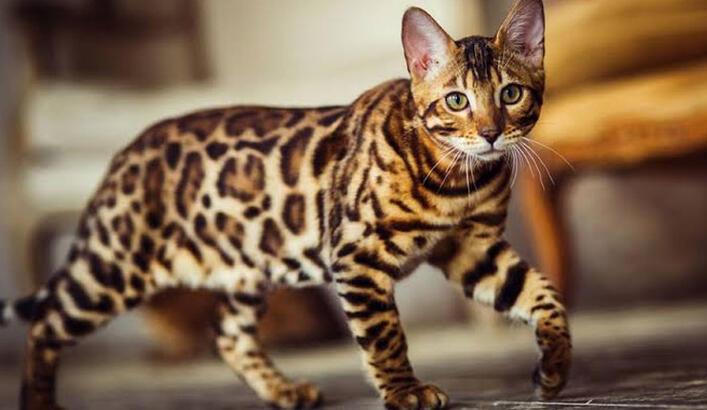 Bengal Kedisi Özellikleri Nelerdir? Yavru Leopar Desenli Bengal Kedisinin Bakımı Nasıl Yapılır?