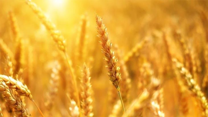 Dünya Buğday Üretim Haritası: Dünyanın En Çok Buğday Üreten Ülkeleri Hangileridir?