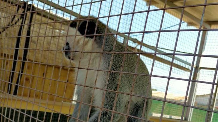 Yasa dışı bulundurulan Rhesus cinsi 2 maymun korumaya alındı