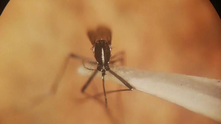 Son dakika... İstanbul'da 'Asya Kaplan Sivrisineği' paniği!