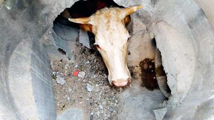 Yağmur suyu hattına düşen inek, kepçeyle kurtarıldı