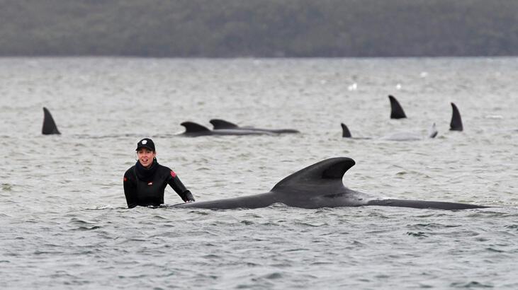 Sığ sulardan kurtarılan balinaların sayısı 108'e çıktı