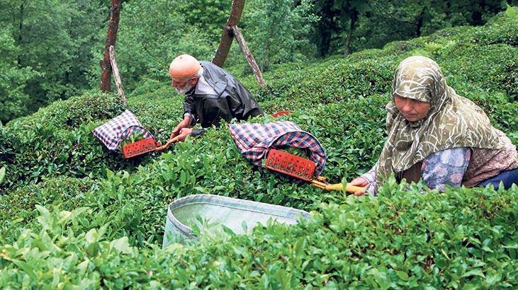 Çay bedeli ödemeleri 29 Eylül'de başlıyor