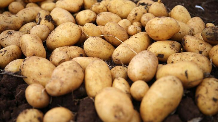 Sivas'ta 350 bin ton patates rekoltesi bekleniyor