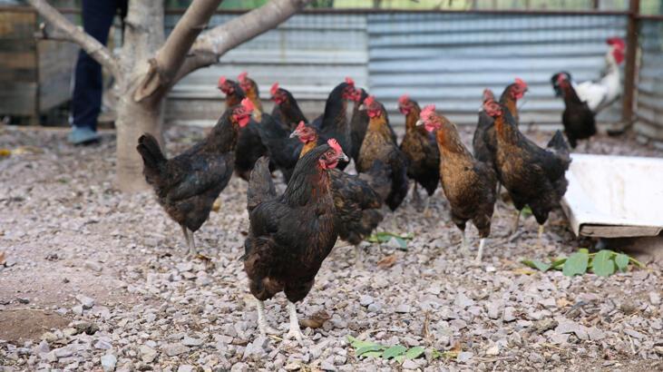 Yüzde 50 hibeli tavuk desteği çiftçilerin yüzünü güldürdü