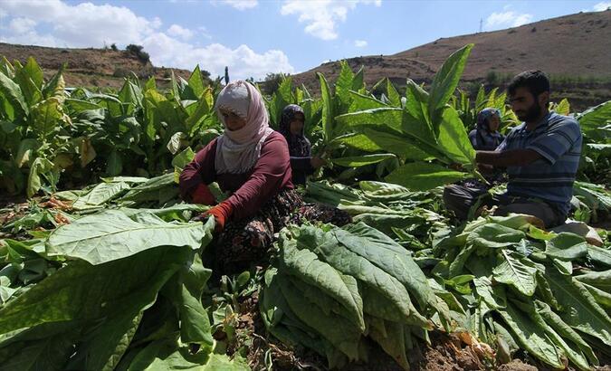 """""""Yüzde 30 yerli tütün zorunluluğu"""" tütün üreticilerini sevindirdi"""