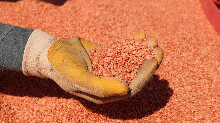 Yerli tohumlar Ceylanpınar Tarım İşletmesinde çoğaltılıyor