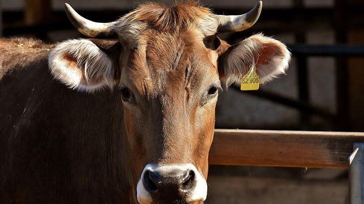 Süt Ve Besi Hayvancılığı Bölümü Nedir, Dersleri Nelerdir? Mezunu Ne İş Yapar?