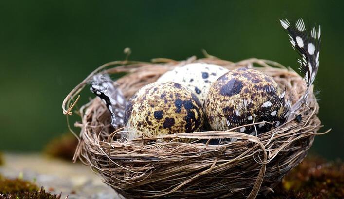 Bıldırcın Yumurtasının Faydaları Nelerdir? Bıldırcın Yumurtası Neye İyi Gelir?